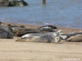 Seals at Hickling Broad  Picture kindly supplied by Mike Tustin