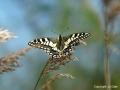 Swallowtail Butterfly at Hickling Broad. Not found anywhere else in the UK   Picture kindly supplied by Jo Dale
