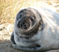A seal pup in the process of molting. Near to Horsey  Picture kindly supplied by Evelyn Simak