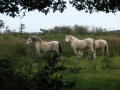 Wild ponies - Koniks, originally from Poland. They keep the fens around Hickling Broad free from scrub.  Picture kindly supplied by Evelyn Simak